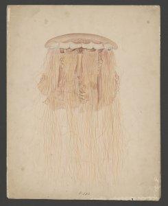 Cyanea capillata, no. 231 [art original].