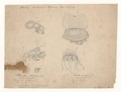 Huxley, the oceanic hydrozoa [art original]: Physalia utriculus: Velella Spirans.