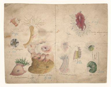 Sagartia coccinea, no. 93 [art original]: S. troglodytes, no. 103: Anthea cereus: Bolocera tuediae, no. 42: Aiptasia couchii: Tealia crassicornis, no. 109: B. ballii, no. 43: Thallia, no. 50: Bunodes gemmacea