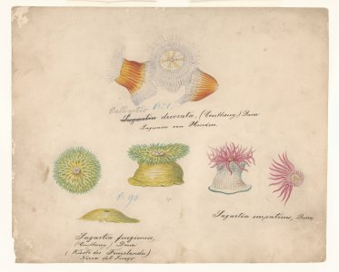 Calliactis decorata, no. 51 [art original]: Sagartia fuegiensis, no. 90: Sagartia impatiens