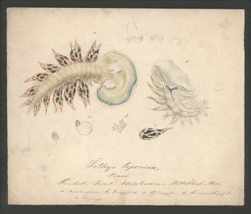 Tethys leporina [art original]: linné.