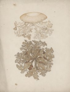 [Unidentified jellyfish] [art original]