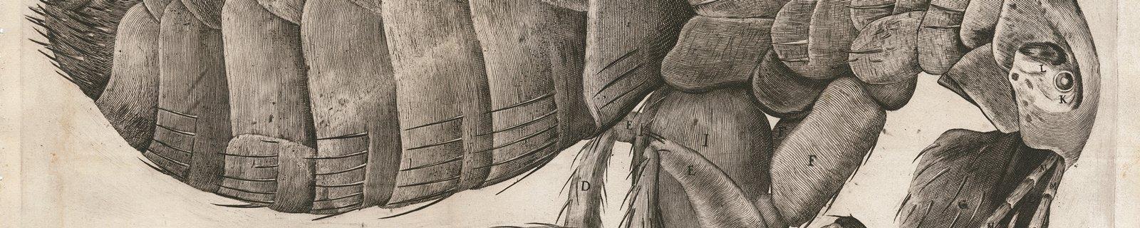 Flea from Micrographia