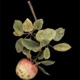 Botanical Wonders: Fruit Diseases