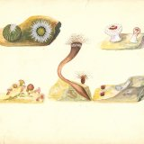 Leopold Blaschka and Rudolf Blaschka: Drawings for Glass Models of Marine Invertebrates