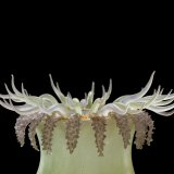 Specimen of Blaschka Marine Life: Ulactis muscosa (Nr. 116), Leopold and Rudolf Blaschka, Dresden Germany, 1885. Lent by Cornell University, Department of Ecology and Evolutionary Biology. L.17.3.63-54.