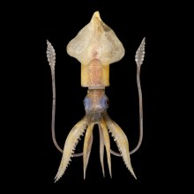 Specimen of Blaschka Marine Life: Ommastrephes sagittatus (Nr. 218), Leopold and Rudolf Blaschka, Dresden Germany, 1885. Lent by Cornell University, Department of Ecology and Evolutionary Biology. L.17.3.63-578.