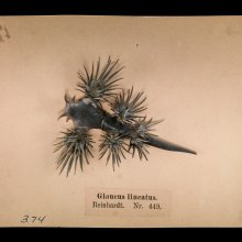 Specimen of Blaschka Marine Life: Glaucus lincatus (Nr. 449), Leopold and Rudolf Blaschka, Dresden Germany, 1885. Lent by Cornell University, Department of Ecology and Evolutionary Biology. L.17.3.63-374.