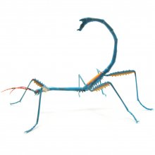 A blue walking stick with its tail curved up over its body